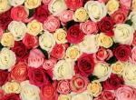 Агротехника роз в двух словах